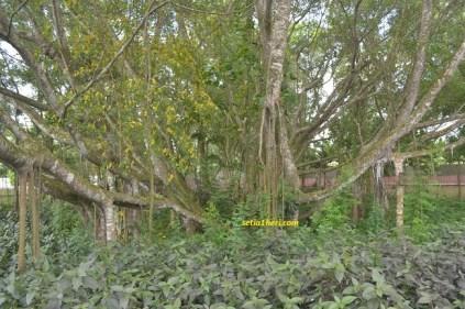 kondisi pohon cinta di pulau kemaro