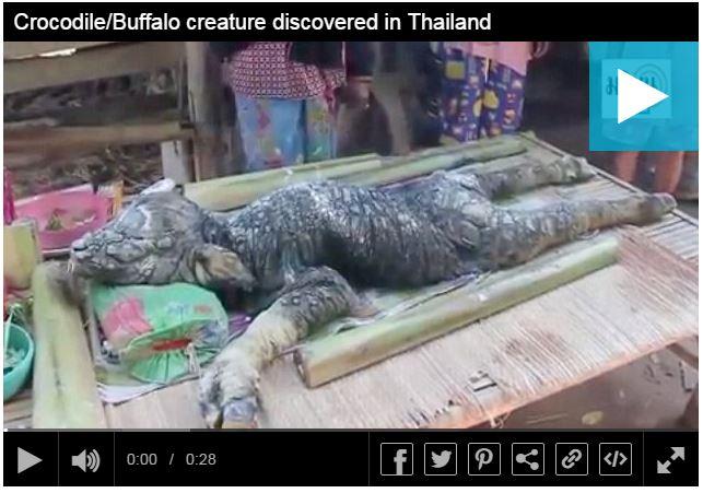 antara kerbau dan buaya di thailand
