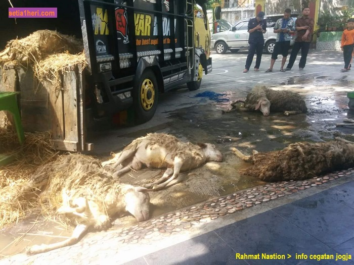 kambing-kurban-mati-di-truk-tahun-2016-di-jogjakarta