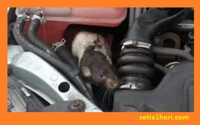 Cara ampuh usir tikus bersarang diruang mesin mobil brosis