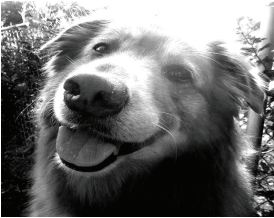 "Bear is a golden retriever/collie mix breed, some people call this mix breed a ""gollie."" Photo courtesy by K.Ervin/Setonian"