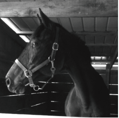 Bella waits to be fed in her stall. Photo courtesy by L.Cowan/Setonian