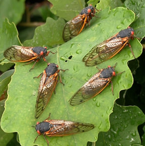 While quite annoying, cicadas are not harmful to humans or animals. Photo from songsofinsects.com.
