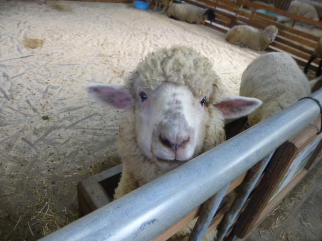 うだアニマルパーク羊