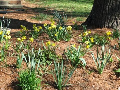 Variety of daffodils blooming, bleeding heart, astilbe, columbine maturing.