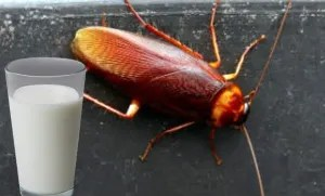 Leche-de-cucaracha