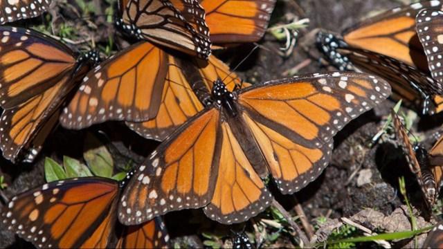 Esperan llegada de la mariposa Monarca en Michoacán