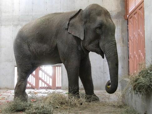 Muere el elefante 'Benny' en Ecatepec