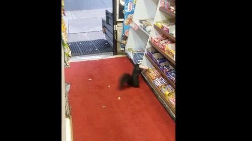 Captan a una ardilla robando dulces en tienda le llaman #Saqueadorcita