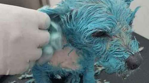 Bañan a perrita con pintura de aceite y muere