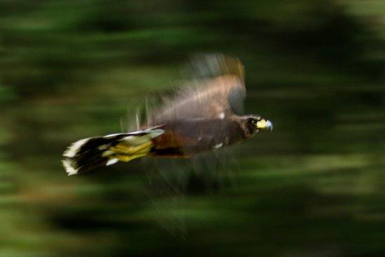 """Impulsó UAEM reintroducción de un coyote y tres aguilillas en Parque """"Hermenegildo Galeana"""""""