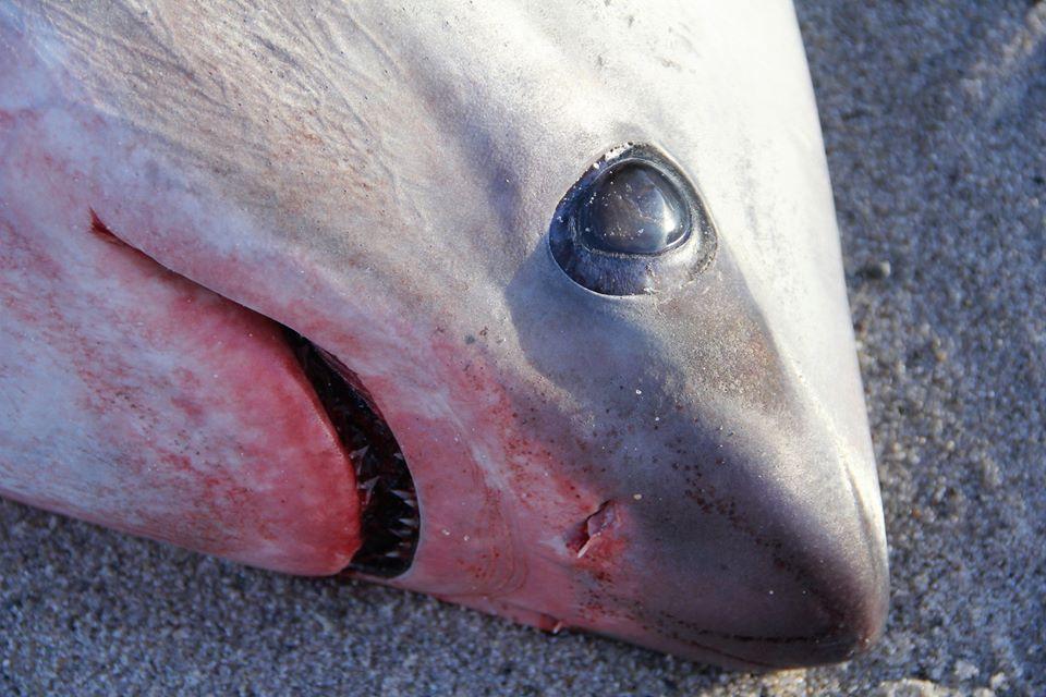 Encuentran tiburones congelados en Estados Unidos