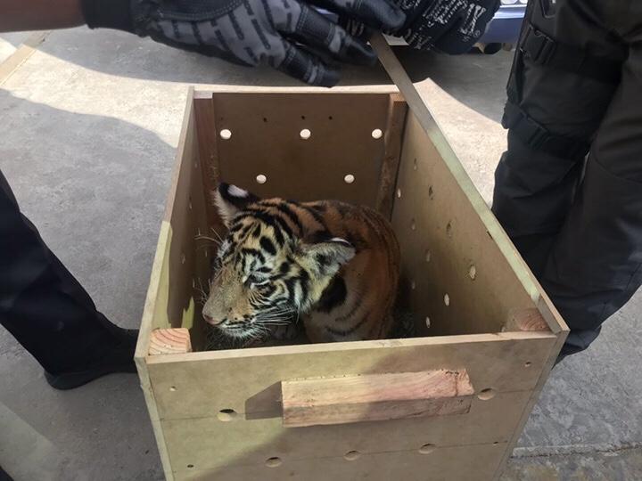 Hombre viajaba con tigre por calles de Oaxaca; lo compró en Internet
