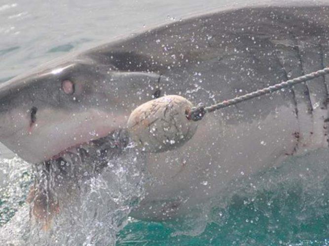 Tiburón blanco ataca otro igual y buzos lo presencian