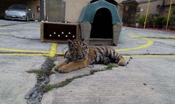 Tigre siberiano es asegurado en Iztapalapa