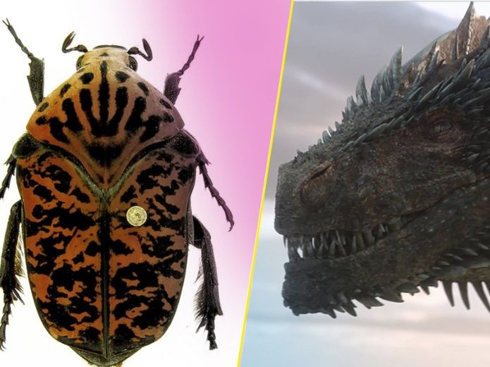 Nombran a escarabajos recién descubiertos como los dragones de GOT