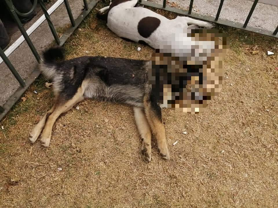 Envenenan a más de 10 perros en Capultitlán
