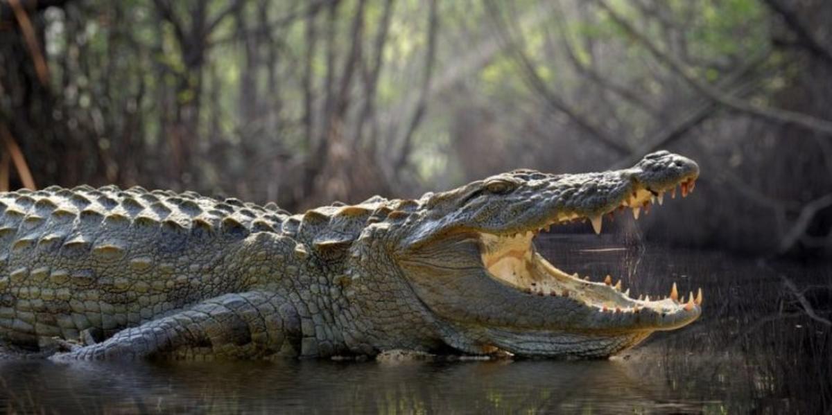 Cocodrilo es capturado en río de Nuevo León