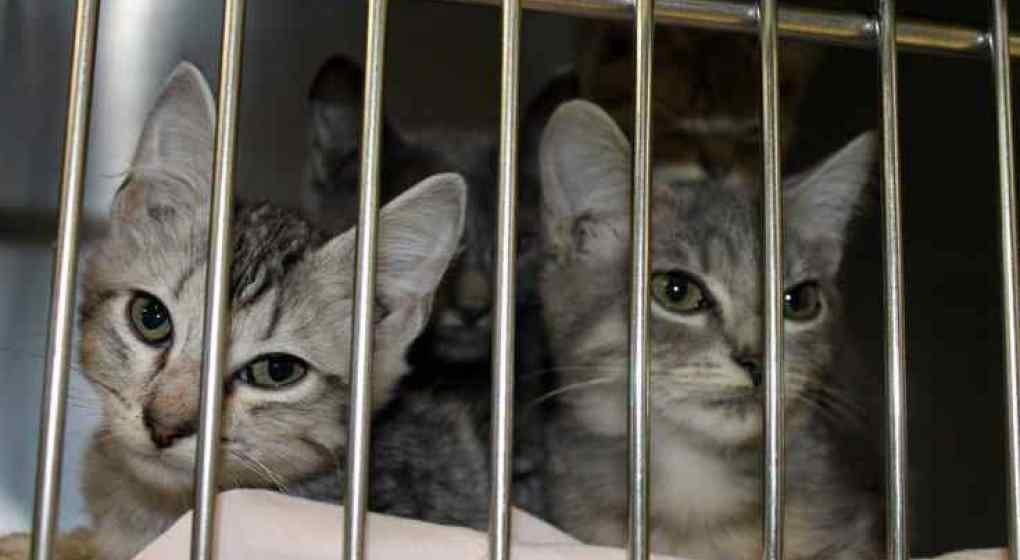Sacrifican autoridades taiwanesas sacrifican a 154 valiosos gatos de contrabando