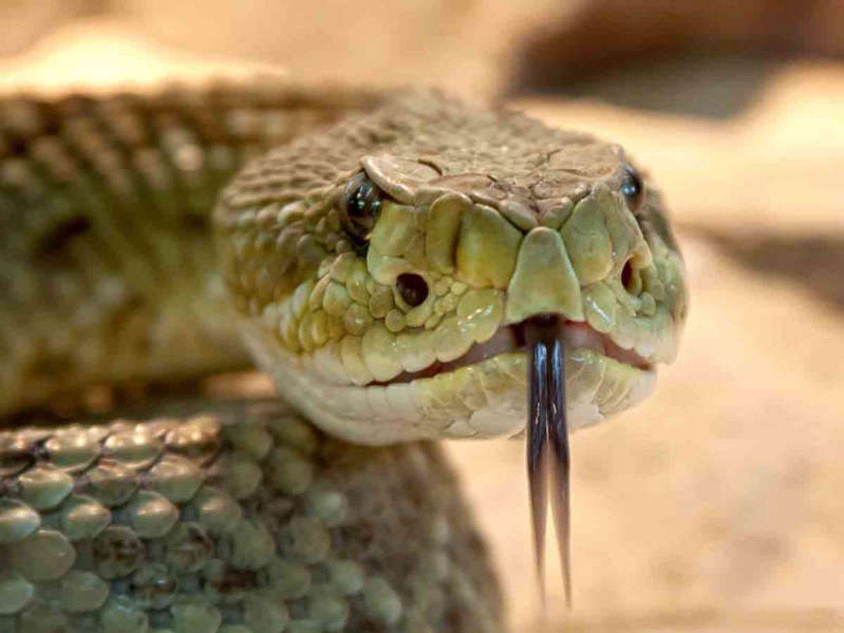 El veneno de esta serpiente impide la reproducción del COVID-19