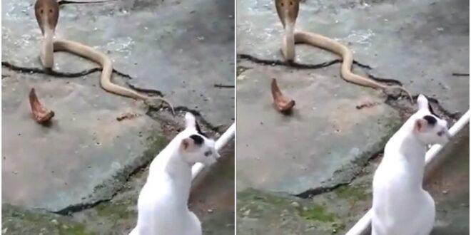 #VIDEO Este Gato enfrentó a una cobra para defender su casa