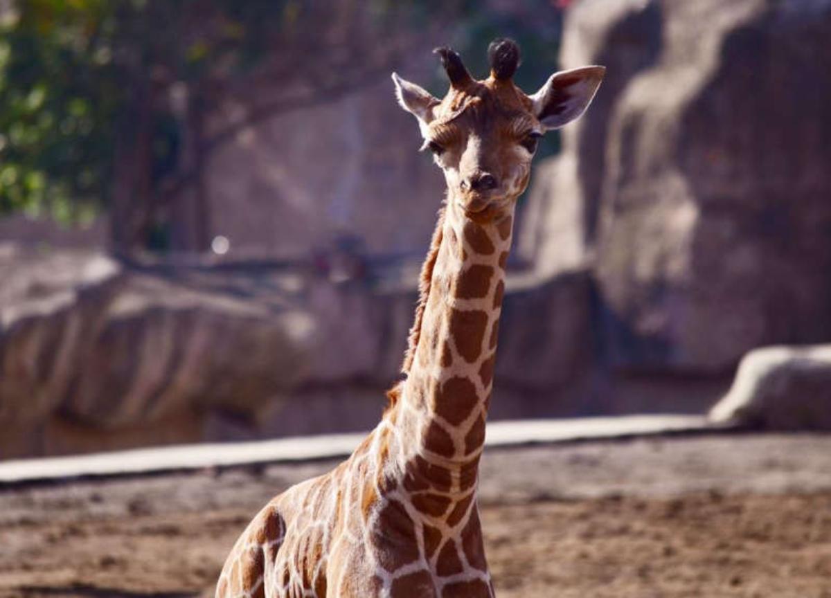 Jirafa nace en zoológico de Aragón y convocan a que los niños le pongan nombre