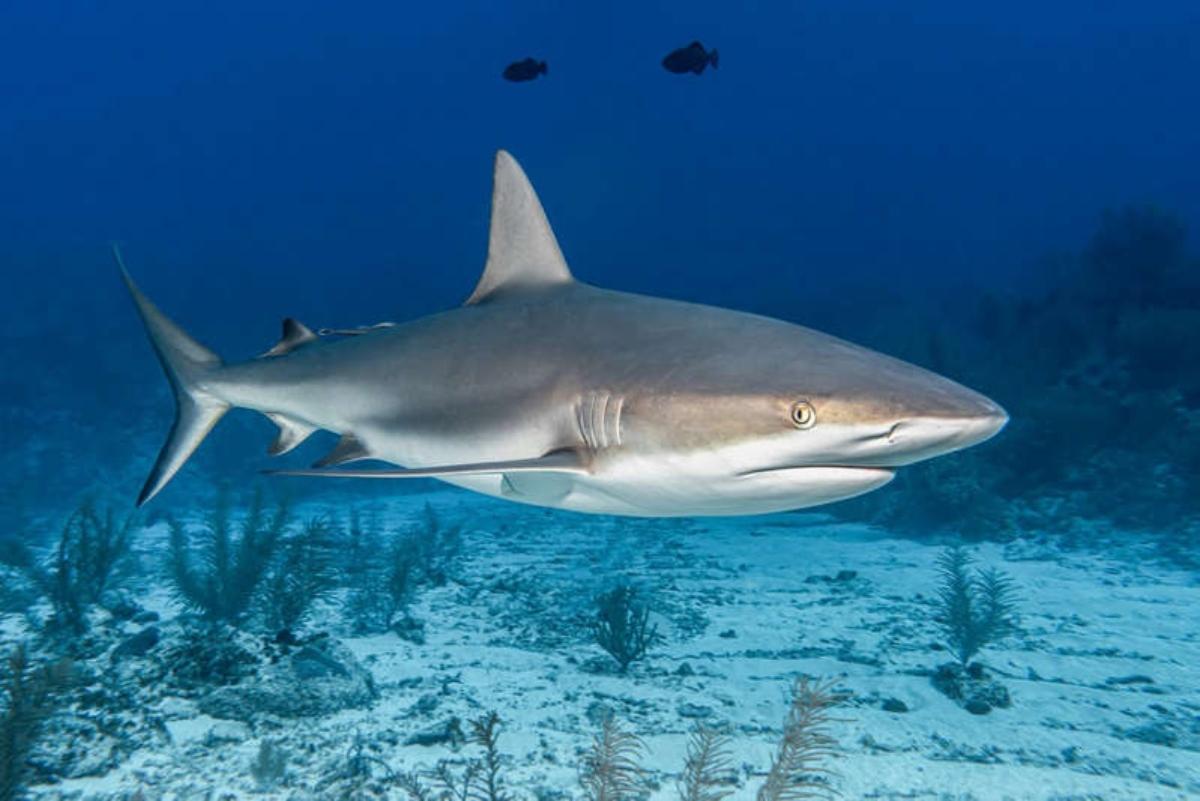 #VIDEO Tiburón es captado devorando un cuerpo humano que iban a rescatar
