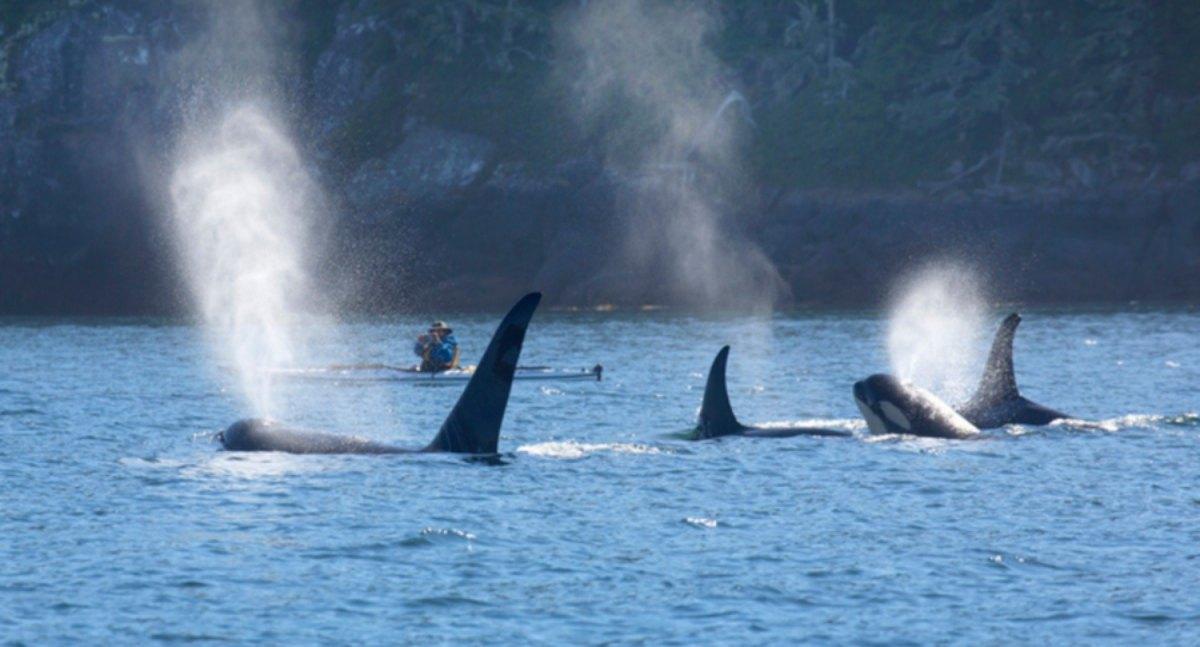 #VIDEO Manada de orcas golpean un velero con 4 tripulantes a bordo
