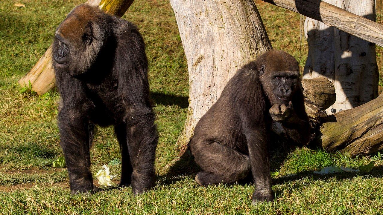 Detectan COVID-19 en gorilas del zoológico de Atlanta