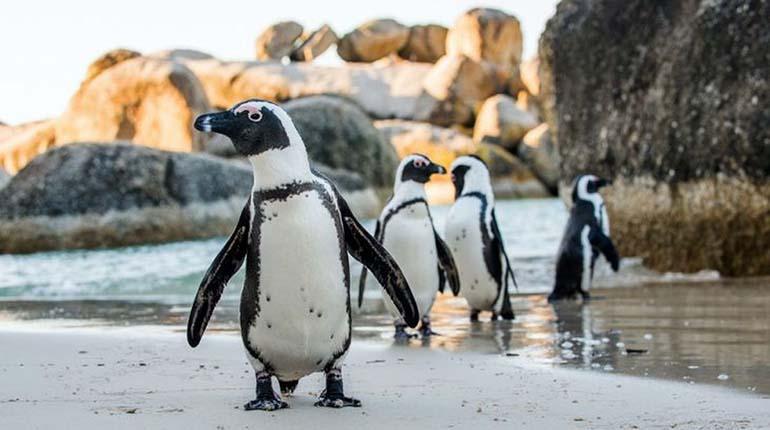 Más de 60 pingüinos fueron encontrados muertos por picaduras de abeja en Sudáfrica