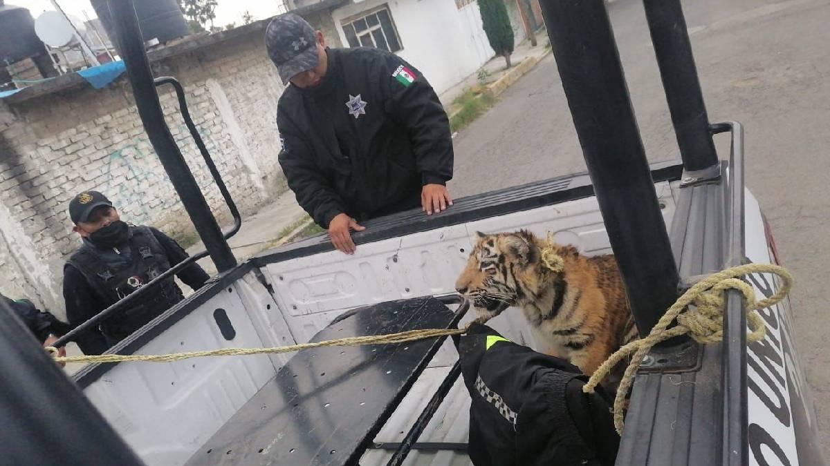 Capturan a tigre de bengala que deambulaba en calles del Edomex