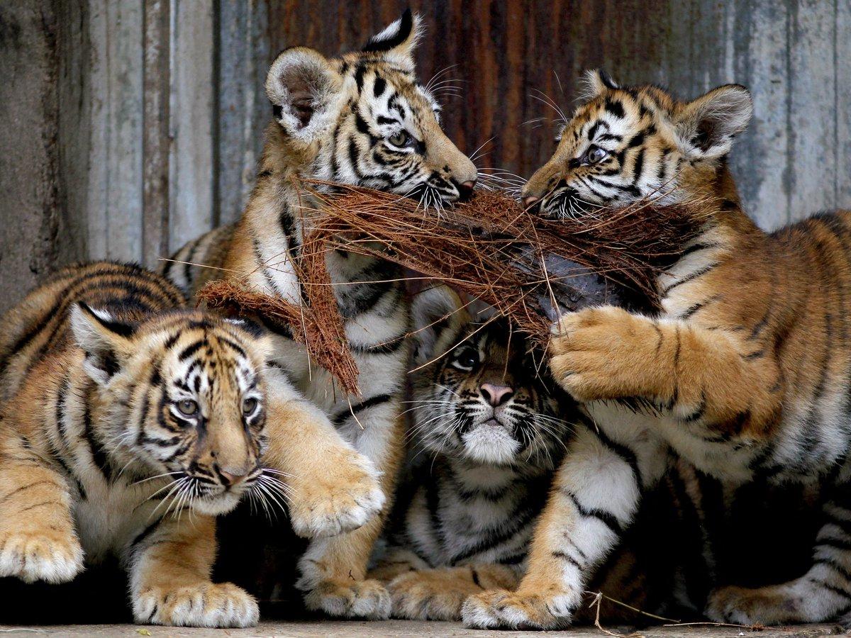 Cachorros de tigre de Bengala nacen en zoológico de Guadalajara