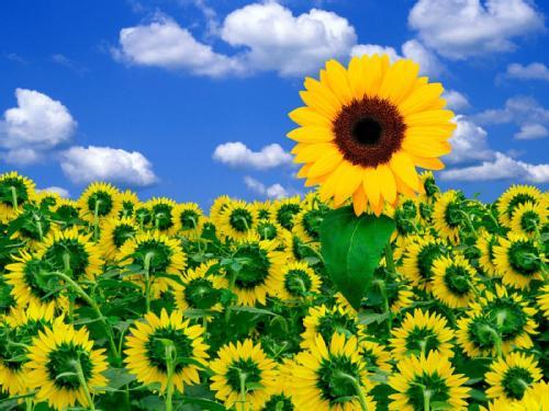 positividad, positivo, ayuda, paisajes, flores, girasoles