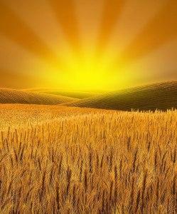 valora, puesta de sol, trigo, campo