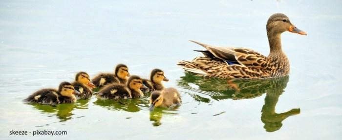skeeze_mallard-ducks-934518_1280_pixabay_kleiner