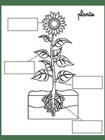 schéma de la plante