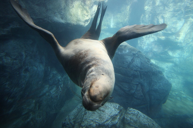 Плавающий морской кото-лев (sea lion)
