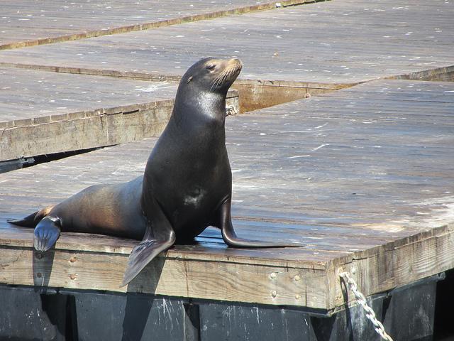 Важный представитель ушастных тюленей (sea lion)
