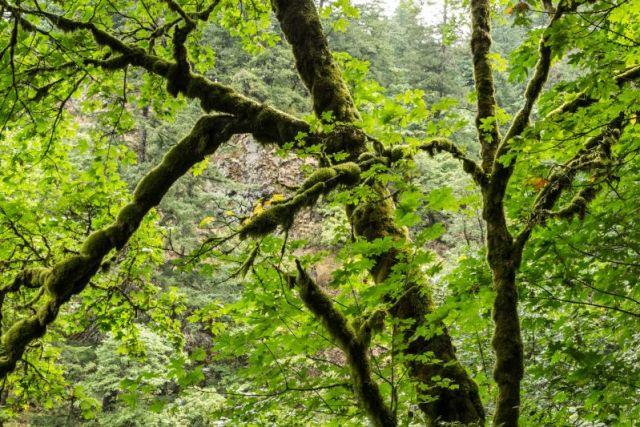 Орегон. Водопад Multnomah Falls. Несколько забавных деревьев