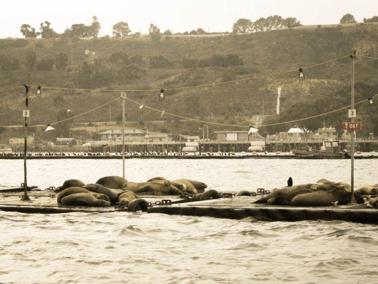 Морские котики отдыхают в заливе Сан-Диего