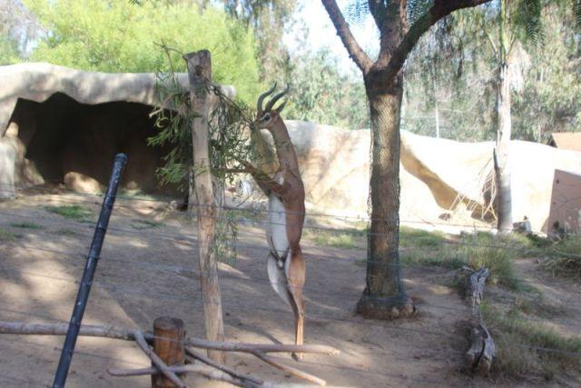 Стройные рогастые и копытные представители зоопарка Сан-Диего