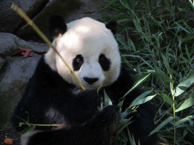 Питательный бамбук для панд зоопарка Сан-Диего