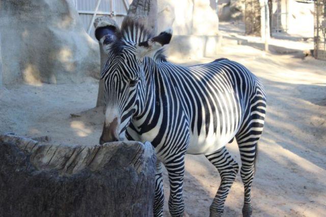 Зебра Марти все-таки попал в зоопарк Сан-Диего?