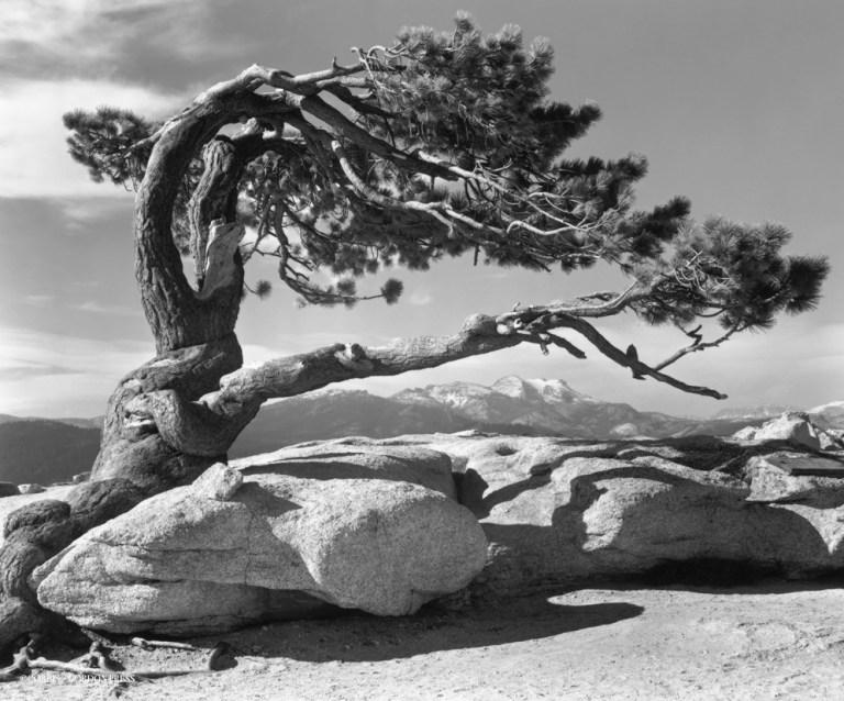 Йосемити парк. Сосна на вершине Sentinel Dome. 1940 год