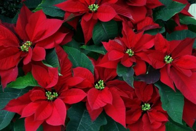 1280px-Poinsettia_in_Arunachal
