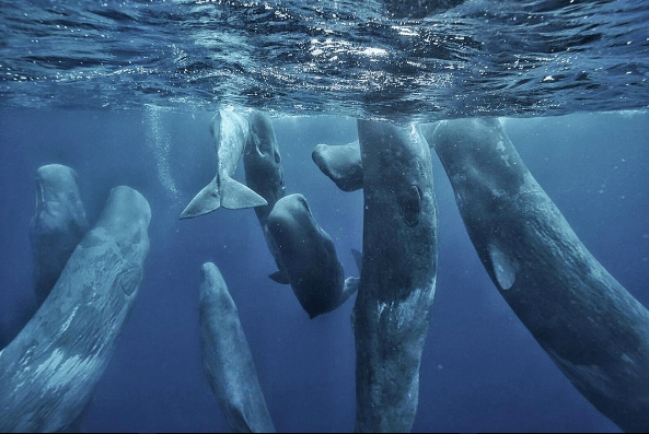 @waittinstitute Mobula Rays were not the only charismatic megafauna to visit our expedition in the Azores. Divers Joe Lepore and Andy Mann were fortunate to observe this pod of #SpermWhales under permit and while being guided by a local official. photo by @andy_mann #waittexpedition #azores #portugal #whales #oceanoptimism @thejoelepore @carapacewetsuits #whales #picoftheday #iucn_marine