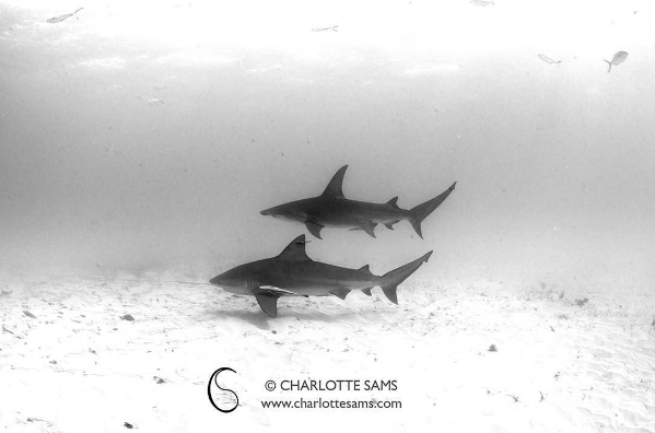 @charlottesamsphotography Side by side. You don't often see images of these two shark species right next to each other, not that they don't frequent the same areas, just that this image shows them particularly close. The Bull shark underneath was sneaking around the sea floor keeping some distance from us divers, whereas the Great Hammerhead was flying all over the place, up and down in the water column.