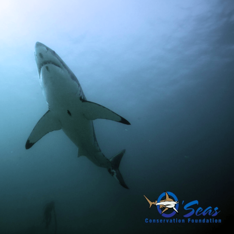 @oseasfdn Stealth, excellent vision, and their hydrodynamic design are some of the things that make #whitesharks a superior ocean predator (but maybe not superior to the #orca). @sharkweek #underwaterworld #underwaterphotography @cressi1946 @animalplanet #oseas #sharks #greatwhiteshark #southafrica #gansbaai #dyerisland #scubadiving #sharkdiving #diving #nocage