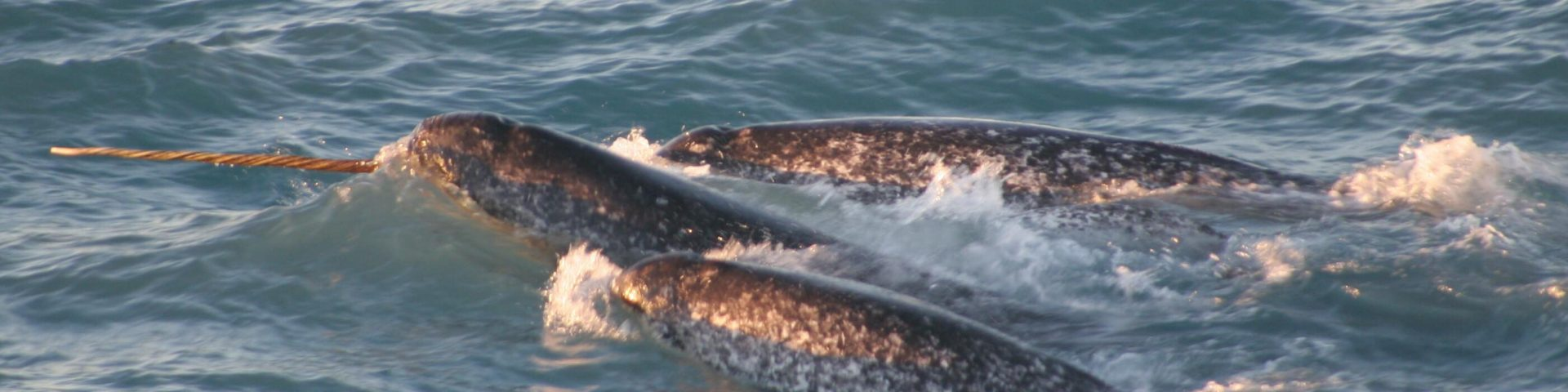 Inuit and Scientists Are Bringing Narwhals and the Melting Arctic Into Focus