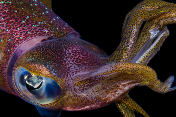 Isla Mar Research Expeditions - Field Courses in Puerto Rico squid